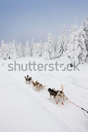 Sanki długo Czechy charakter śniegu uruchomiony Zdjęcia stock © phbcz
