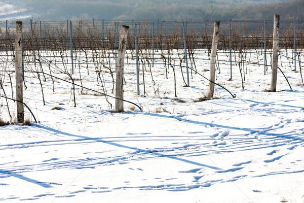 зима виноградник южный Чешская республика снега белый Сток-фото © phbcz