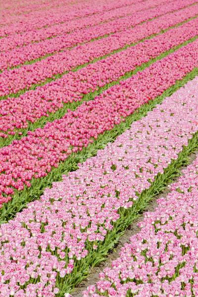 Tulipán campo Países Bajos flores primavera naturaleza Foto stock © phbcz