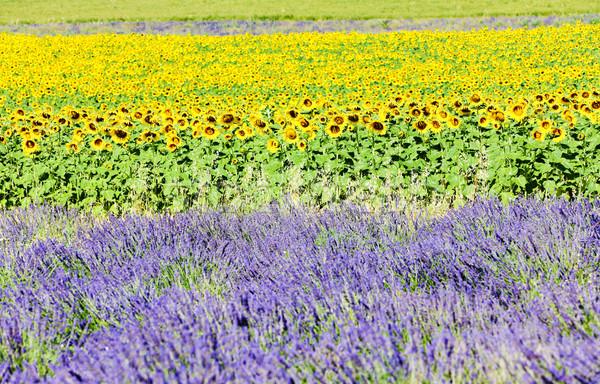 Foto stock: Lavanda · girassol · campos · França · natureza · verão