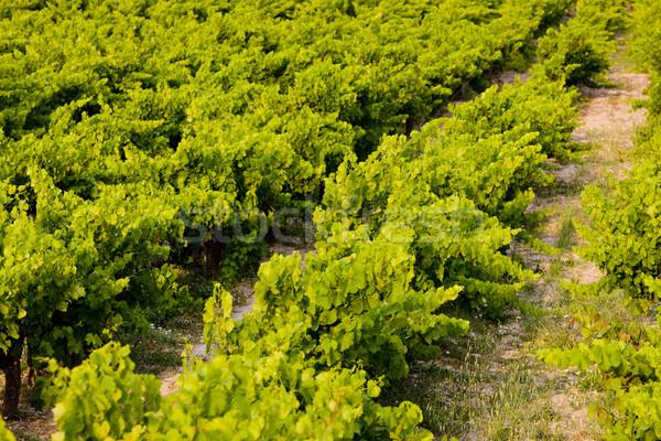 vineyard, Provence, France Stock photo © phbcz