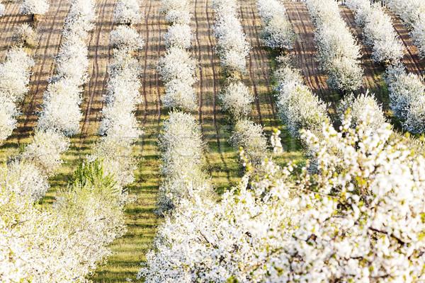 Boomgaard voorjaar Tsjechische Republiek boom Stockfoto © phbcz