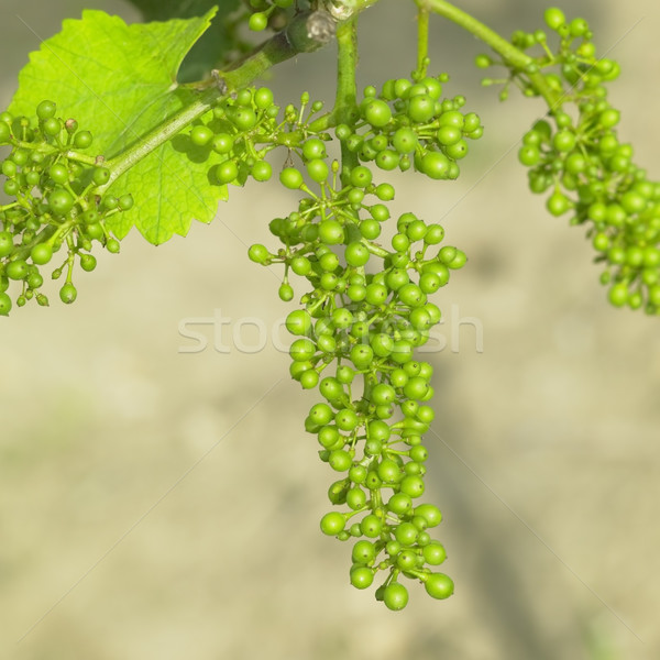 unripe grapevine, Czech Republic Stock photo © phbcz
