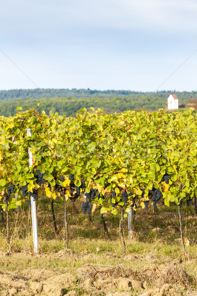 autumnal vineyard near Hnanice, Southern Moravia, Czech Republic Stock photo © phbcz