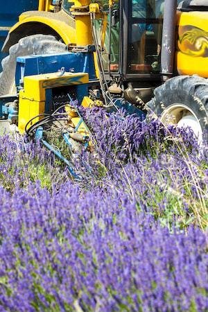 lavender harvest, Rhone-Alpes, France Stock photo © phbcz
