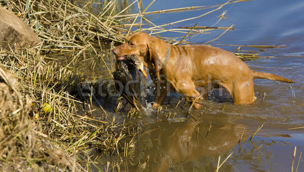 hunting dog with a catch Stock photo © phbcz