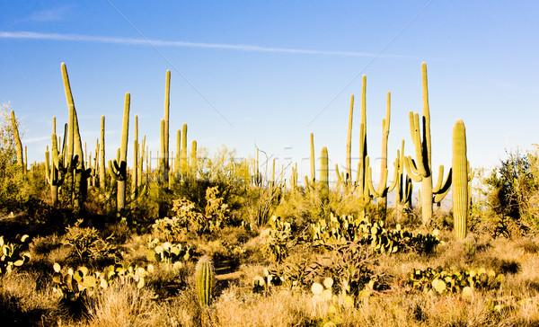 парка Аризона США природы пустыне кактус Сток-фото © phbcz