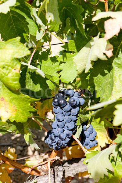 blue grape, La Rioja, Spain Stock photo © phbcz