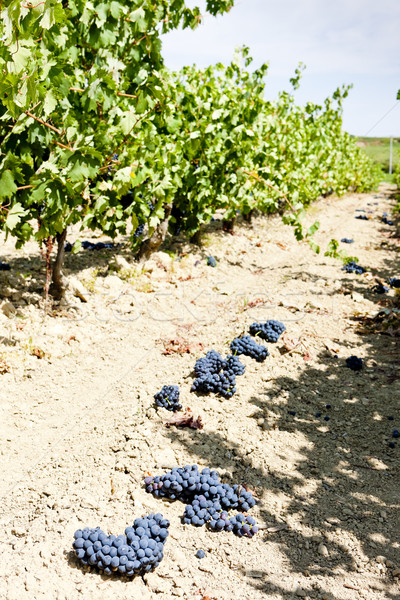 vineyard with blue grapes, La Rioja, Spain Stock photo © phbcz