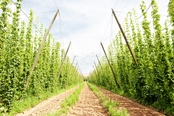 hops garden, Czech Republci Stock photo © phbcz