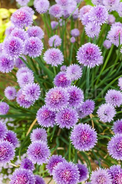 Flores flor natureza planta roxo ao ar livre Foto stock © phbcz
