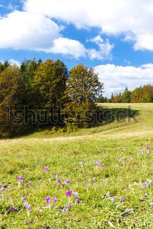 Prado flor baixo Eslováquia flor árvore Foto stock © phbcz