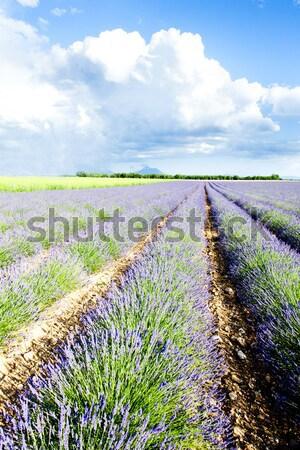 Lavendel veld plateau Frankrijk bloem reizen planten Stockfoto © phbcz