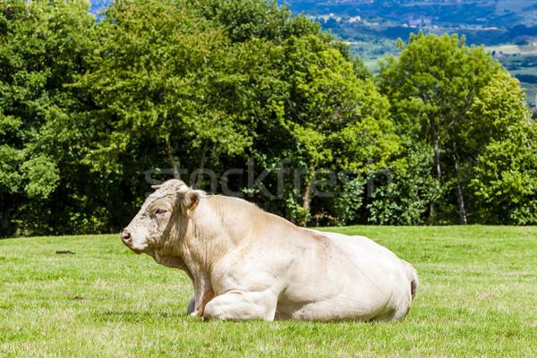 cow on meadow, Rhone-Alpes, France Stock photo © phbcz