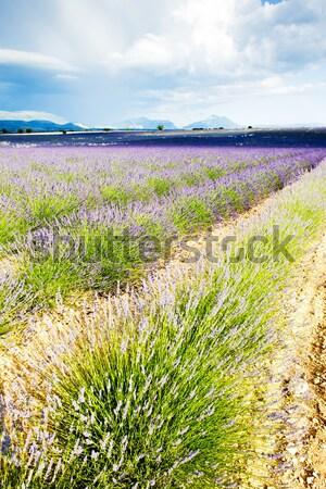 Lawendowe pole plateau Francja kwiat podróży roślin Zdjęcia stock © phbcz