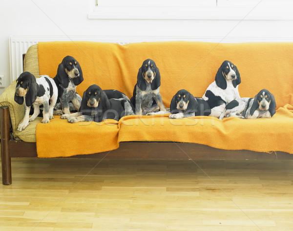 puppies Stock photo © phbcz