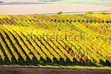 view of autumnal vineyards near Velke Bilovice, Czech Republic Stock photo © phbcz