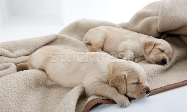 Alszik kiskutyák golden retriever kutyák állat kutyakölyök Stock fotó © phbcz