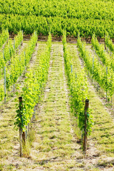 vineyard, Alsace, France Stock photo © phbcz