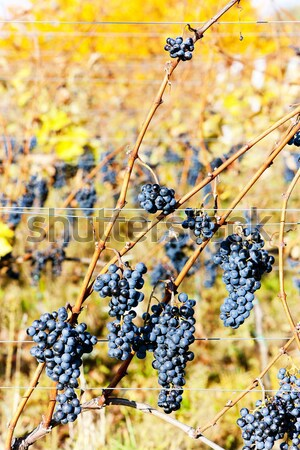 red grapes in vineyard, Czech Republic Stock photo © phbcz