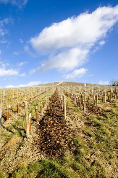 vineyard, Mo Stock photo © phbcz