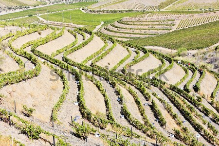 vineyars in Douro Valley, Portugal Stock photo © phbcz