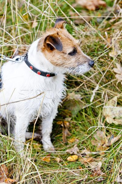 sitting dog Stock photo © phbcz