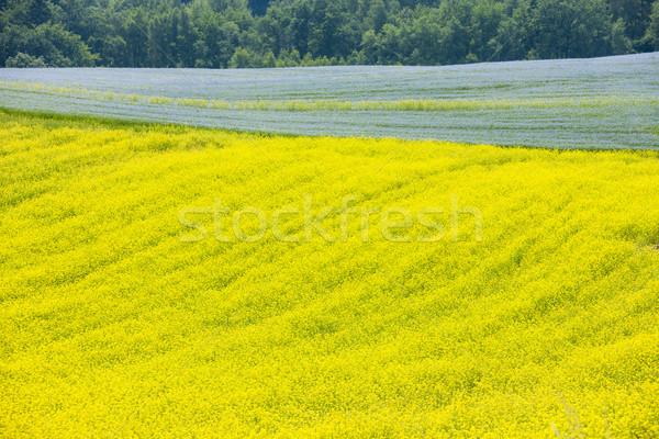 landscape with flax and rape fields, Czech Republic Stock photo © phbcz