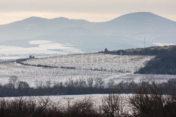 winter vineyards near Velka Trna, Tokaj wine region, Slovakia Stock photo © phbcz