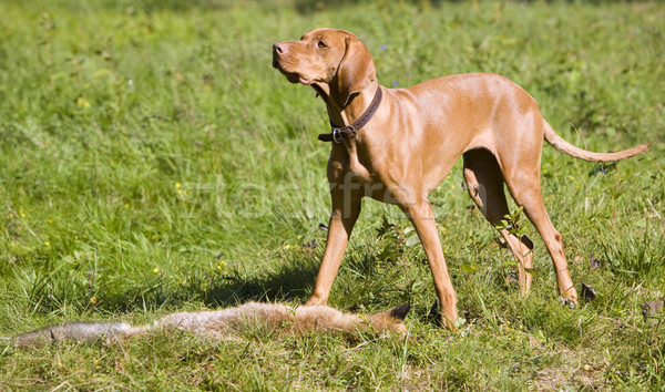 Chien de chasse chien herbe nature sac Photo stock © phbcz