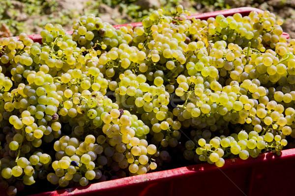wine harvest (riesling), Czech Republic Stock photo © phbcz
