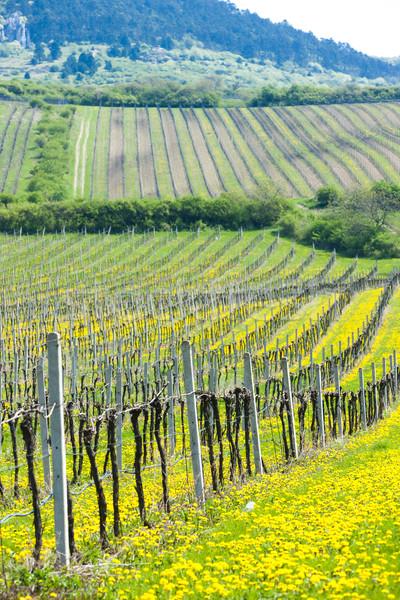 spring vineyards, Southern Moravia, Czech Republic Stock photo © phbcz