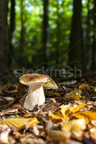 Comestible setas forestales otono caída naturales Foto stock © phbcz