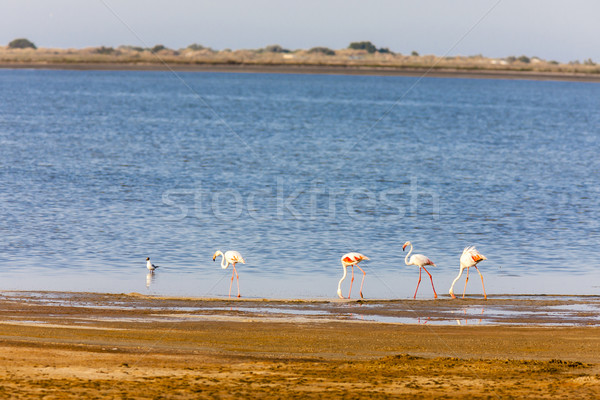 flamingos in Camargue, Provence, France Stock photo © phbcz