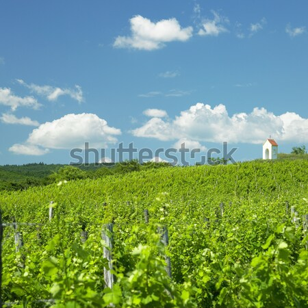 vineyard near Hnanice, Znojmo Region, Czech Republic Stock photo © phbcz