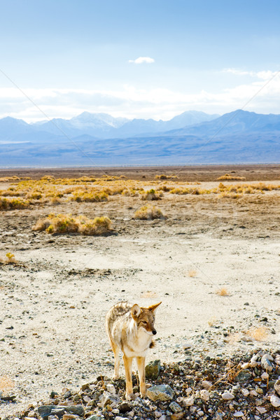 coyote, Death Valley National Park, California, USA Stock photo © phbcz