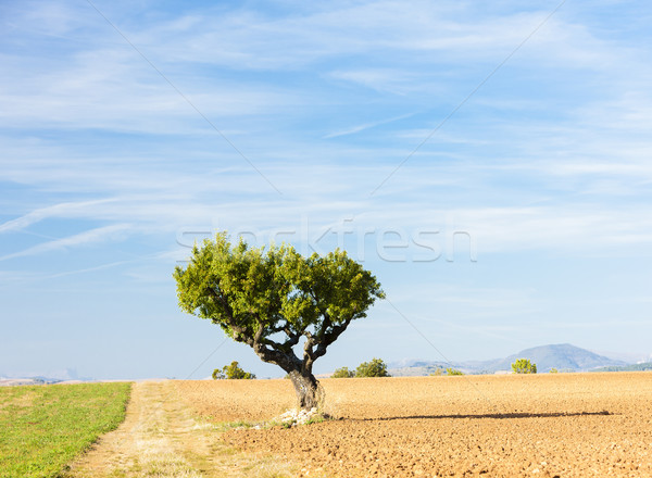 field with a tree, Plateau de Valensole, Provence, France Stock photo © phbcz