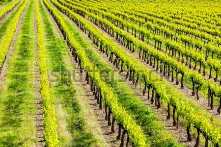 spring vineyard, Southern Moravia, Czech Republic Stock photo © phbcz