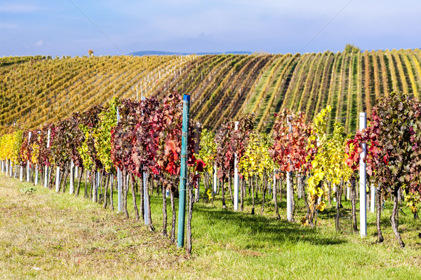 view of autumnal vineyards near Velke Bilovice, Czech Republic Stock photo © phbcz