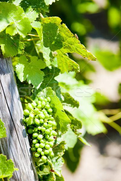 unripe grapevine, vineyards of Cote Rotie, Rhone-Alpe, France Stock photo © phbcz