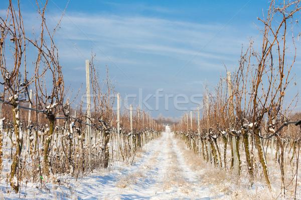 Stock photo: winter vineyard, Southern Moravia, Czech Republic