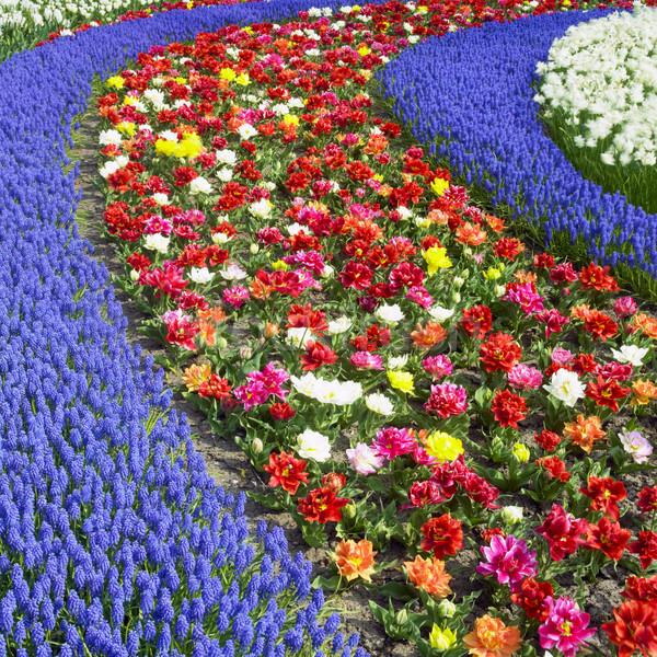 Jardins Holanda flores primavera natureza fundo Foto stock © phbcz
