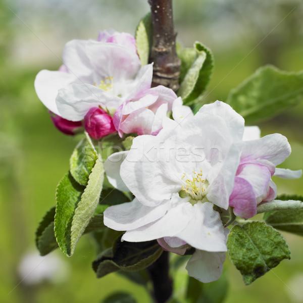 çiçek elma ağacı çiçekler doğa elma ağaçlar Stok fotoğraf © phbcz