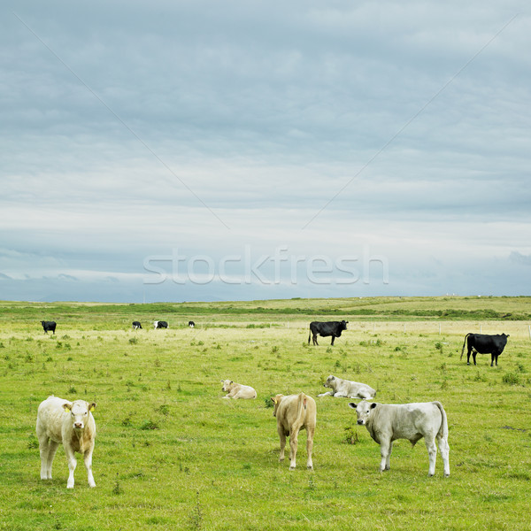 cows, The Mullet Peninsula, County Mayo, Ireland Stock photo © phbcz