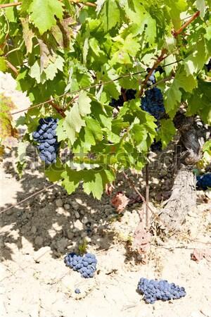 blue grape in Bordeaux Region, Chateau de la Tour, Aquitaine, Fr Stock photo © phbcz