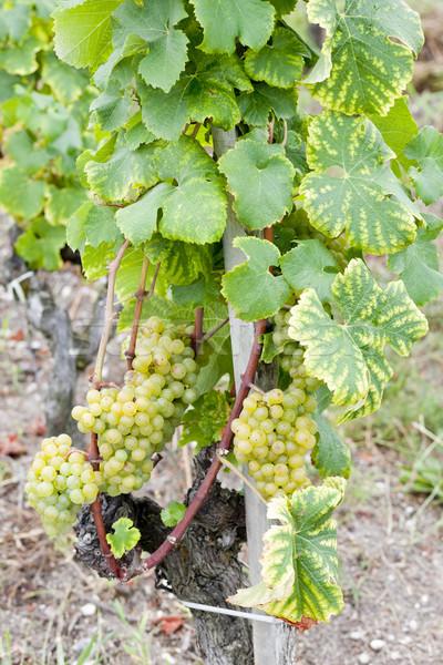 белый винограда регион Франция лист зеленый Сток-фото © phbcz