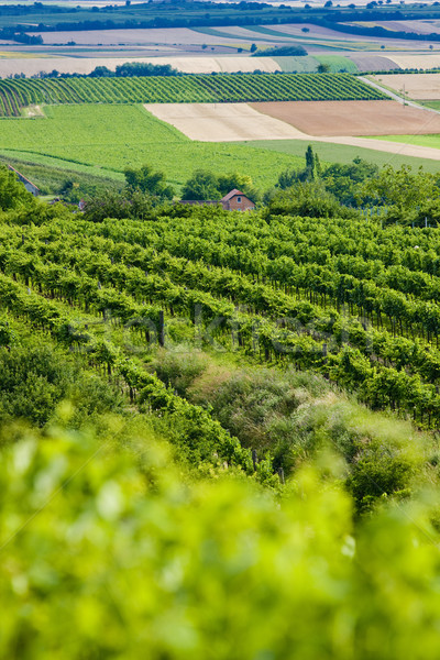 vineyards, Southern Moravia, Czech Republic Stock photo © phbcz