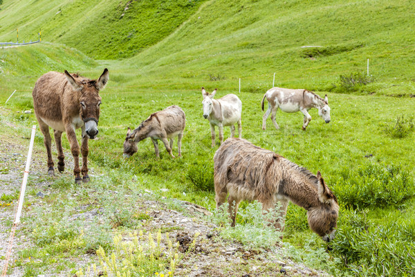 donkeys on meadow, Piedmont, Italy Stock photo © phbcz
