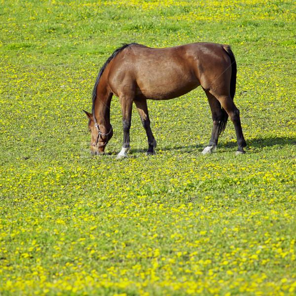 horse on meadow Stock photo © phbcz