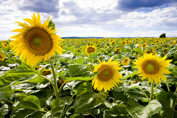 sunflower field Stock photo © phbcz